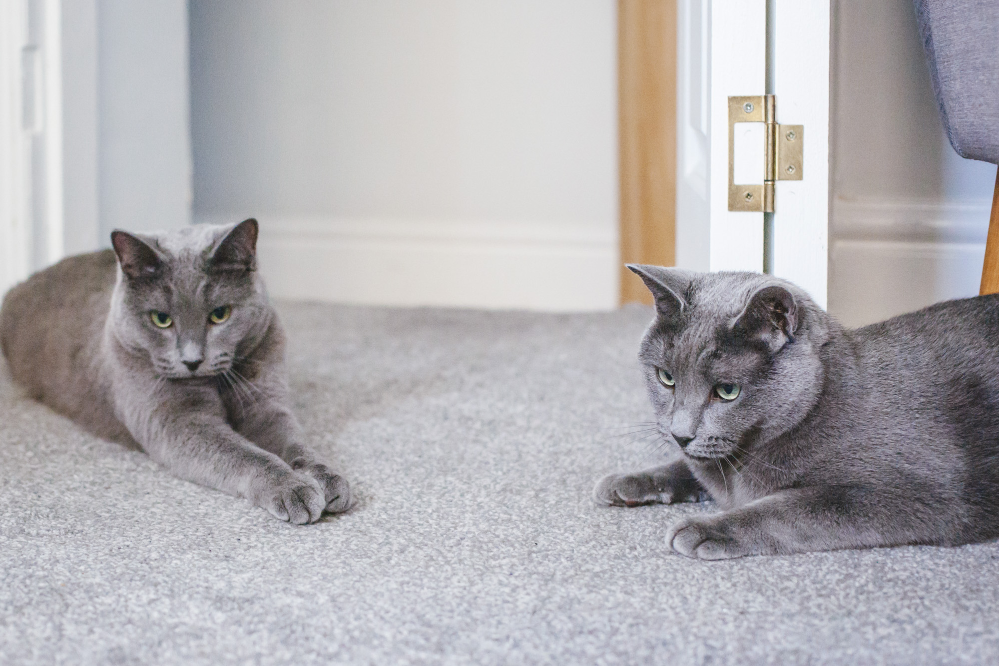Look at these BEAUTIFUL sister kitties! Veronica and Matilda are residing in England (our RUFFined photog went on a jaunt across the pond) and are three-year-old pure-bred Russian Blue cats. They are from the Warwick Russians breeder on the south coast of England. The two sisters were the only two from their litter which is very ~rare~. The sisters like to lounge in the sunlight (when the sun is shining in England), spend time with their family with a Sunday afternoon cuddle puddle, and getting their fur brushed. They dislike it when their litter boxes are anything but sparkly clean because they are little princesses. You can follow these English kitties on Instagram at @agents_meow.{ }The Seattle RUFFined Spotlight is a weekly profile of local pets living and loving life in the PNW. If you or someone you know has a pet you'd like featured, email us at hello@seattlerefined.com or tag #SeattleRUFFined and your furbaby could be the next spotlighted! (Image: Sunita Martini / Seattle Refined).