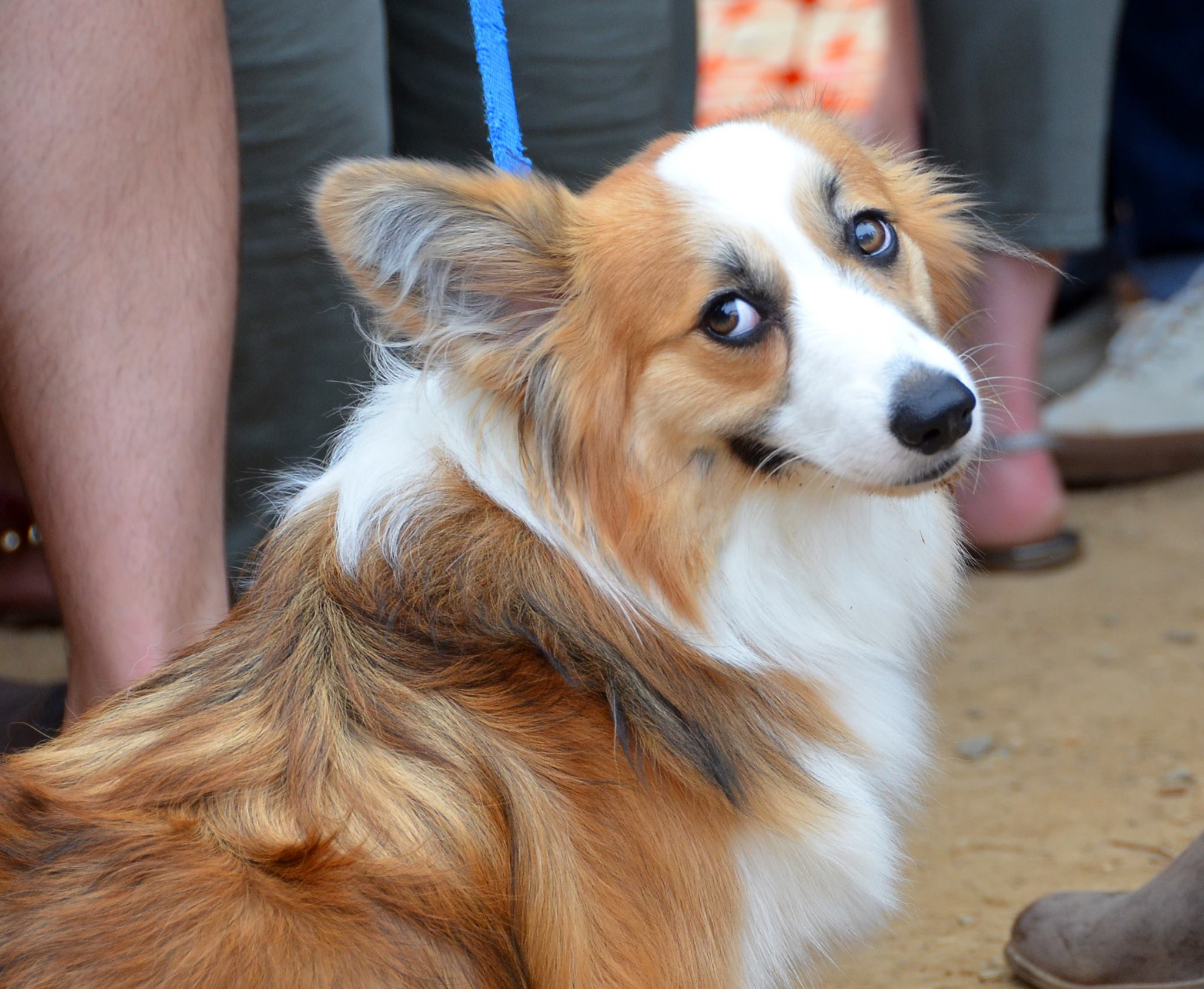 "There are few things in life we love more than a bunch of dogs all in one place that we can go nutty over! So naturally, Derpin' in DC: Corgtoberfest was right up our alley! Hundreds of stumpy-legged fluff monsters and their humans descended on{ }Tysons Biergarten for the fourth annual Corgi meetup, though it was an all-inclusive event with many other breeds making an appearance as well. There was a costume contest for the dogs and stein-drinking competitions for their two-legged counterparts, followed by several heats of corgi races. Boy can those stumpy little furballs run! You may see some familiar faces as several ""insta stars"" were present, including Navy, Moogle, Waffles, Jasper and Biscuit. Plus, our friends from We The Dogs DC were repping! (Image: Randy Bachand Photography)"