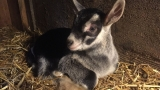 Cuteness alert: Gales Creek goat farm wants you to gambol with baby goats, take one home